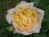 Raining_rose